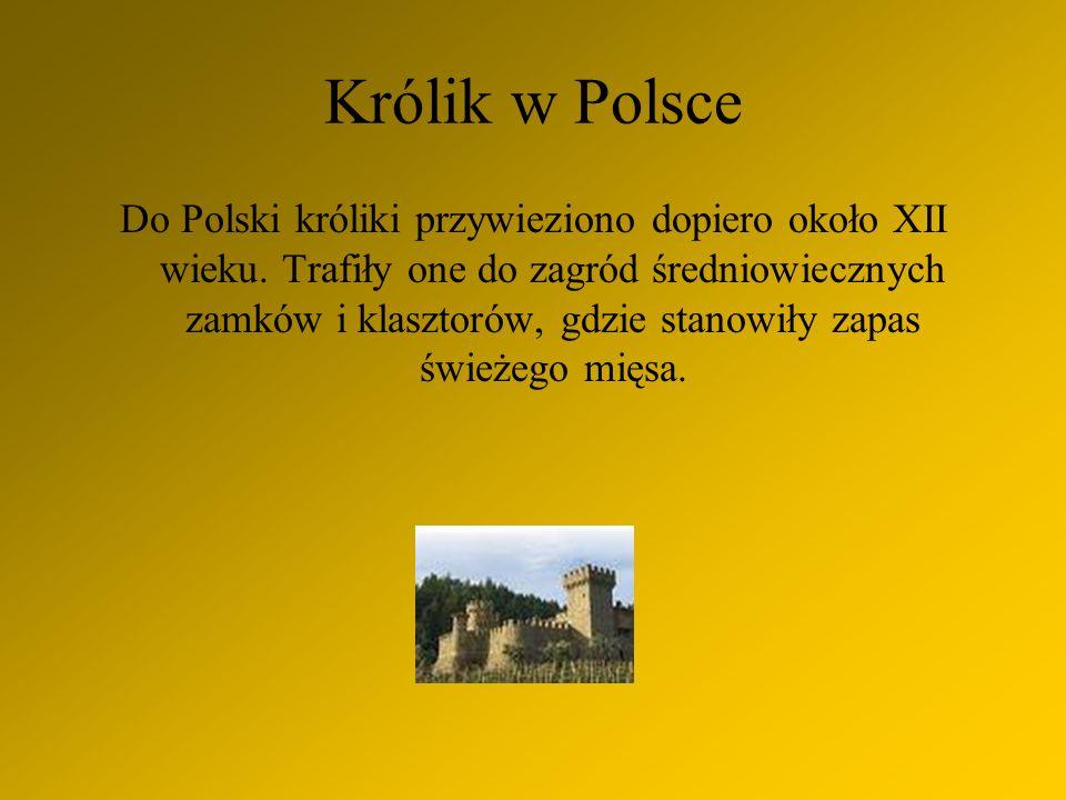 Królik w Polsce Do Polski króliki przywieziono dopiero około XII wieku.