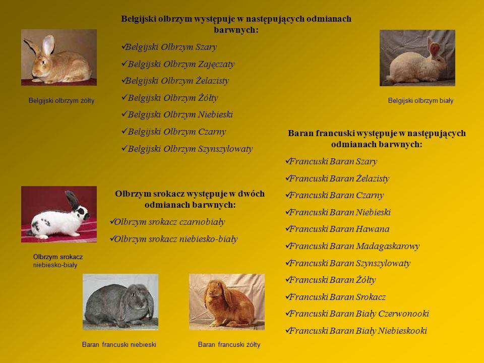 Belgijski olbrzym żółty Belgijski olbrzym występuje w następujących odmianach barwnych: Belgijski Olbrzym Szary Belgijski Olbrzym Zajęczaty Belgijski Olbrzym Żelazisty Belgijski Olbrzym Żółty Belgijski Olbrzym Niebieski Belgijski Olbrzym Czarny Belgijski Olbrzym Szynszylowaty Belgijski olbrzym biały Olbrzym srokacz Olbrzym srokacz występuje w dwóch odmianach barwnych: Olbrzym srokacz czarnobiały Olbrzym srokacz niebiesko-biały Baran francuski żółty Baran francuski występuje w następujących odmianach barwnych: Francuski Baran Szary Francuski Baran Żelazisty Francuski Baran Czarny Francuski Baran Niebieski Francuski Baran Hawana Francuski Baran Madagaskarowy Francuski Baran Szynszylowaty Francuski Baran Żółty Francuski Baran Srokacz Francuski Baran Biały Czerwonooki Francuski Baran Biały Niebieskooki Baran francuski niebieski