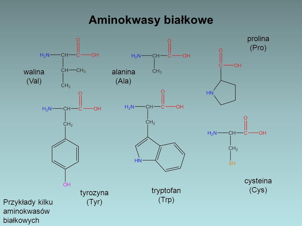 Aminokwasy białkowe Przykłady kilku aminokwasów białkowych tyrozyna (Tyr) walina (Val) tryptofan (Trp) alanina (Ala) prolina (Pro) cysteina (Cys)