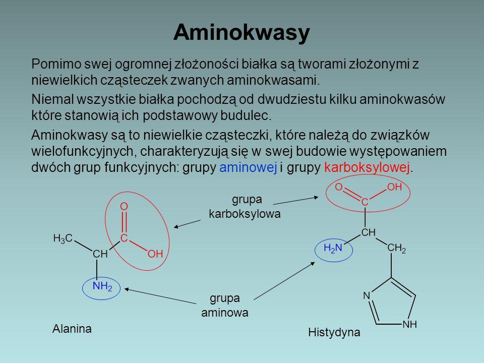 Aminokwasy Pomimo swej ogromnej złożoności białka są tworami złożonymi z niewielkich cząsteczek zwanych aminokwasami. Niemal wszystkie białka pochodzą