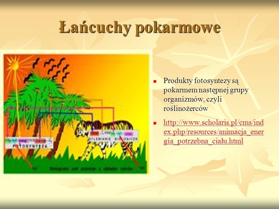 Łańcuchy pokarmowe Produkty fotosyntezy są pokarmem następnej grupy organizmów, czyli roślinożerców Produkty fotosyntezy są pokarmem następnej grupy o