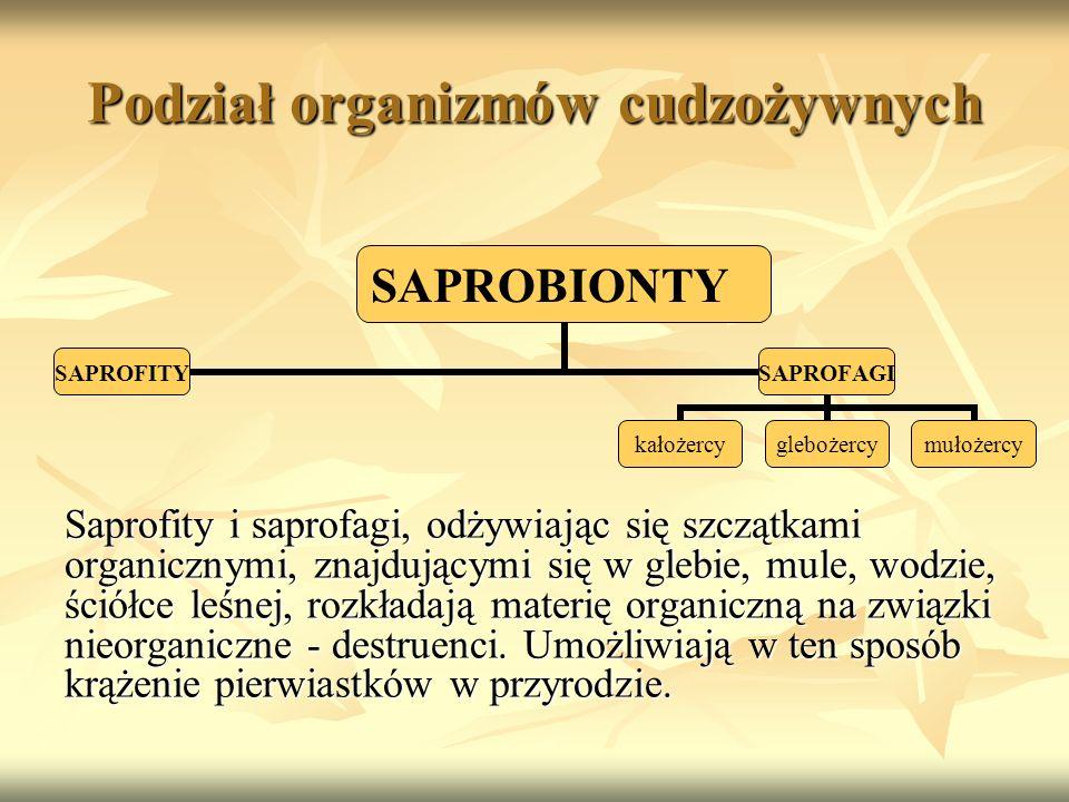 Podział organizmów cudzożywnych Saprofity i saprofagi, odżywiając się szczątkami organicznymi, znajdującymi się w glebie, mule, wodzie, ściółce leśnej