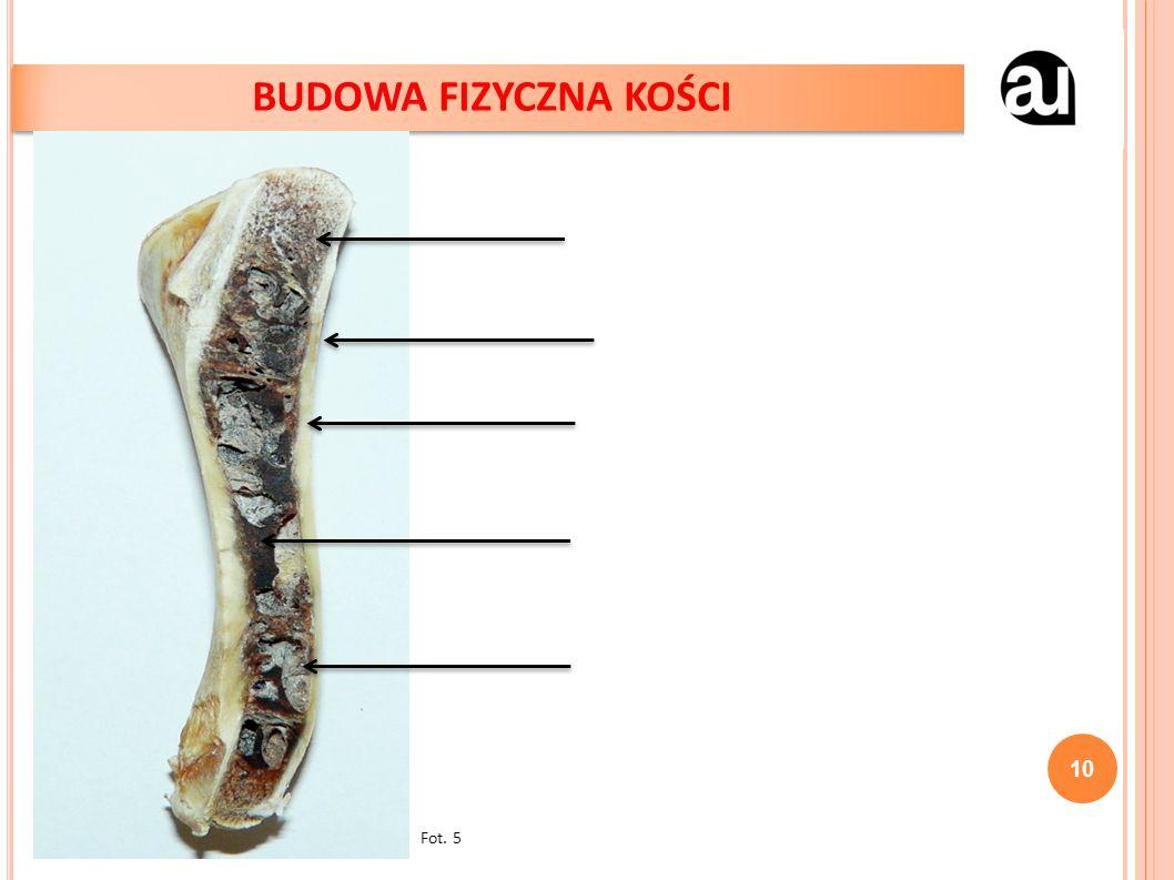 10 BUDOWA FIZYCZNA KOŚCI Fot. 5