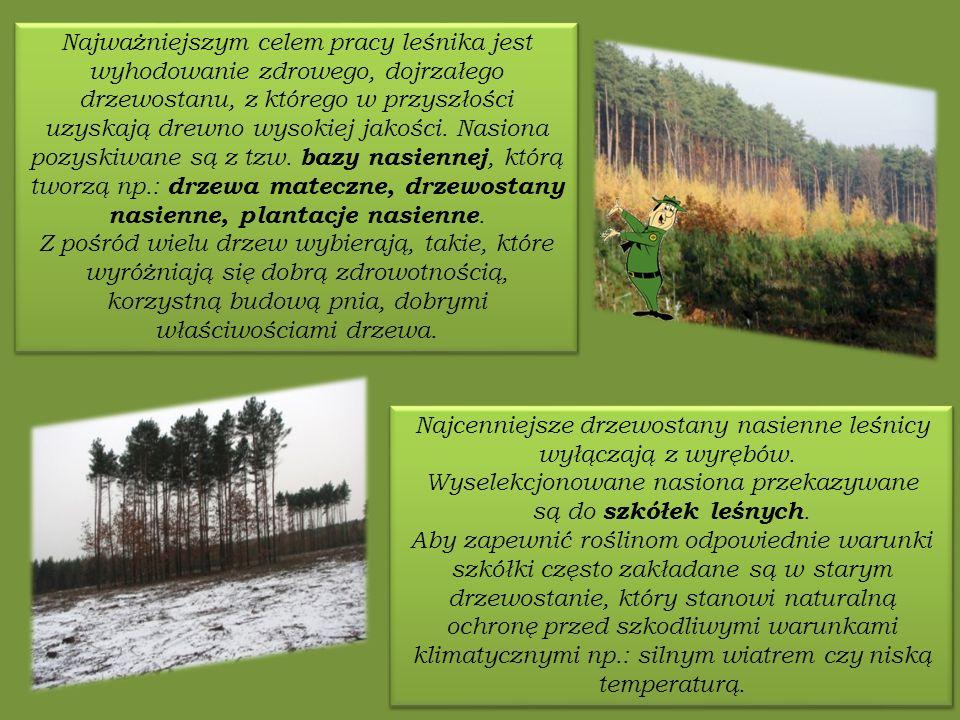 Najcenniejsze drzewostany nasienne leśnicy wyłączają z wyrębów.