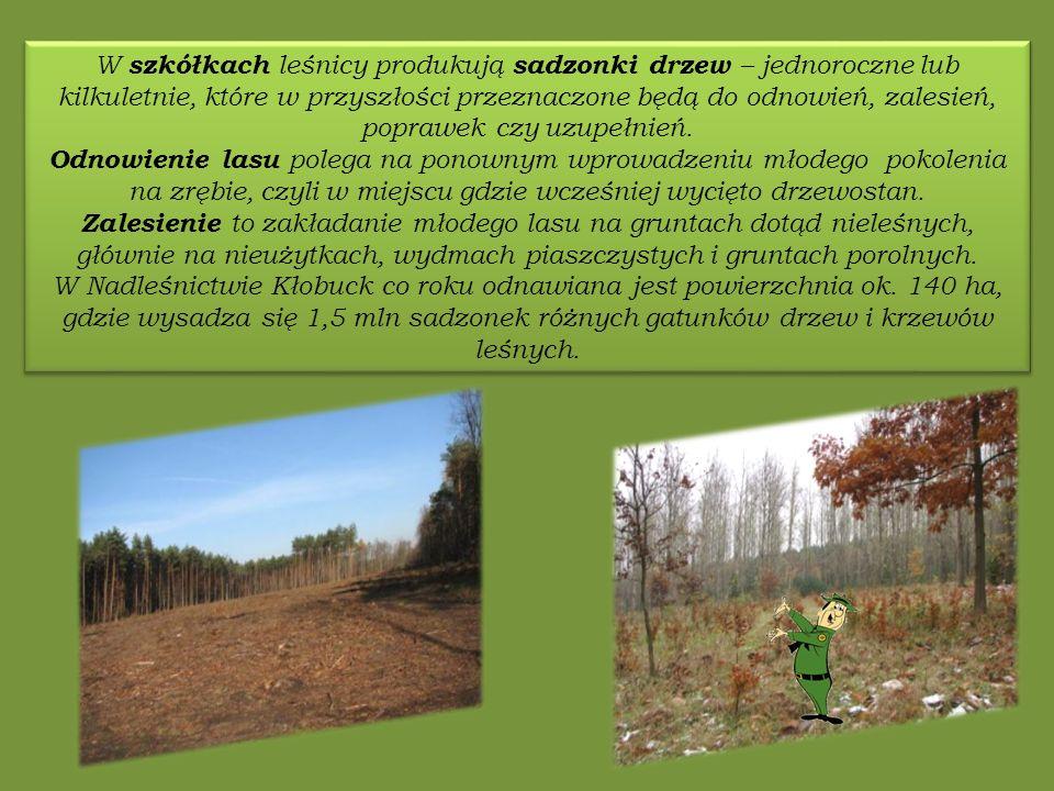 W szkółkach leśnicy produkują sadzonki drzew – jednoroczne lub kilkuletnie, które w przyszłości przeznaczone będą do odnowień, zalesień, poprawek czy uzupełnień.