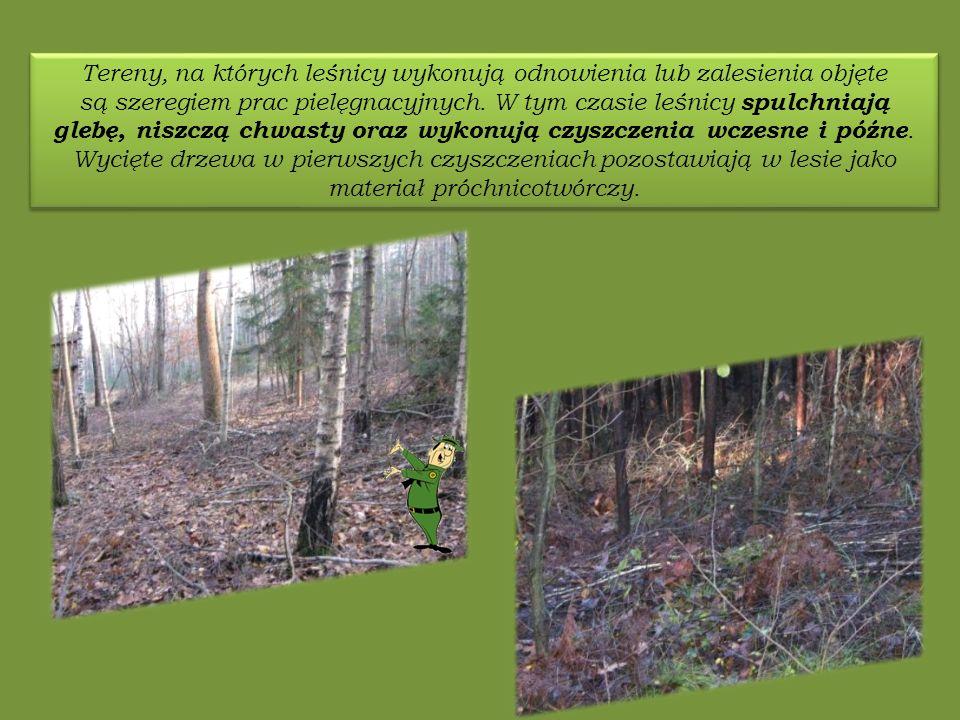 Tereny, na których leśnicy wykonują odnowienia lub zalesienia objęte są szeregiem prac pielęgnacyjnych.