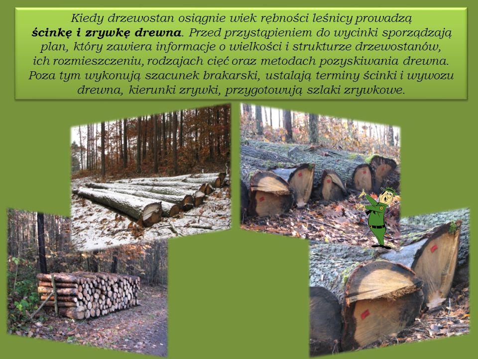 Kiedy drzewostan osiągnie wiek rębności leśnicy prowadzą ścinkę i zrywkę drewna.