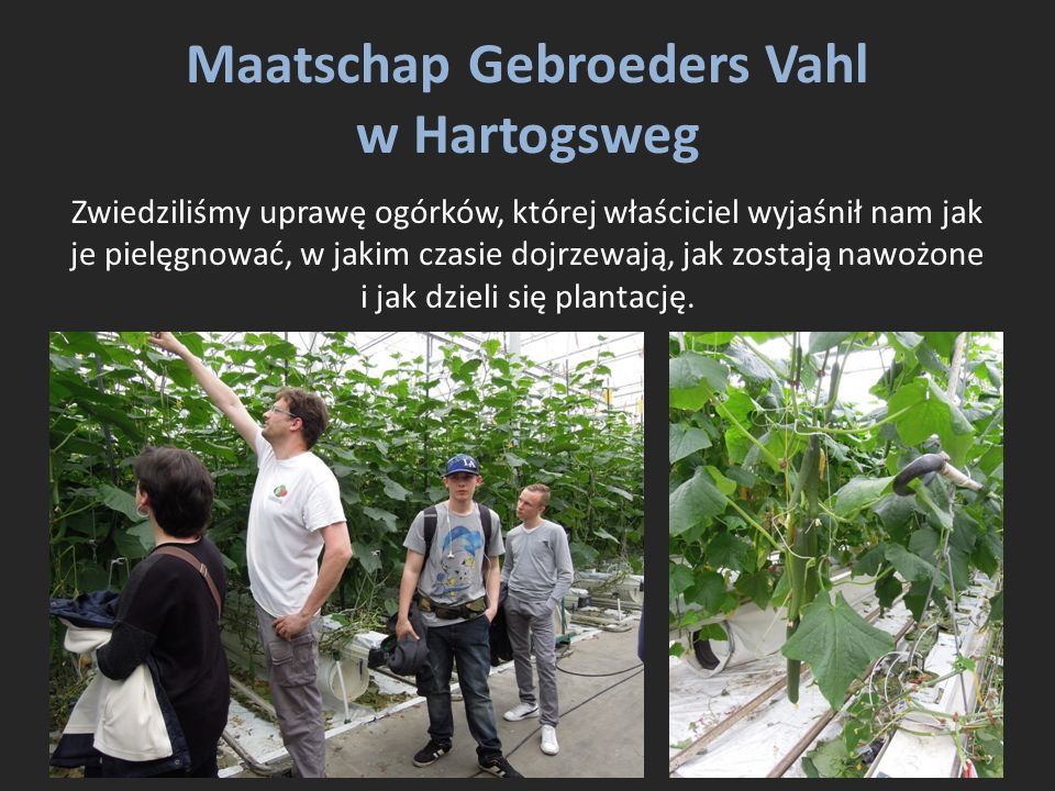 Maatschap Gebroeders Vahl w Hartogsweg Zwiedziliśmy uprawę ogórków, której właściciel wyjaśnił nam jak je pielęgnować, w jakim czasie dojrzewają, jak zostają nawożone i jak dzieli się plantację.