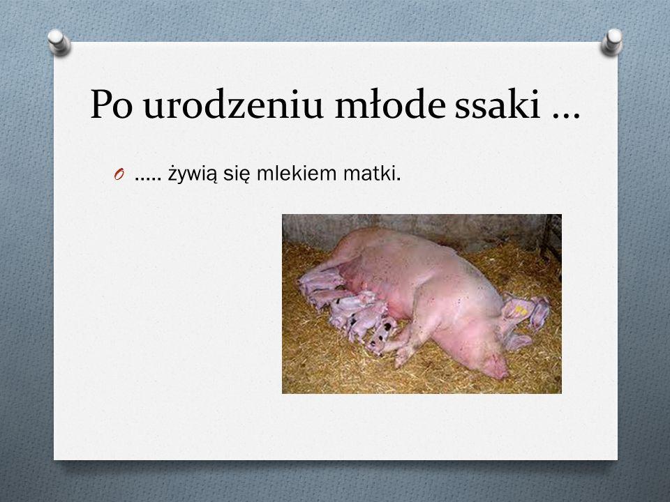 Po urodzeniu młode ssaki... O..... żywią się mlekiem matki.