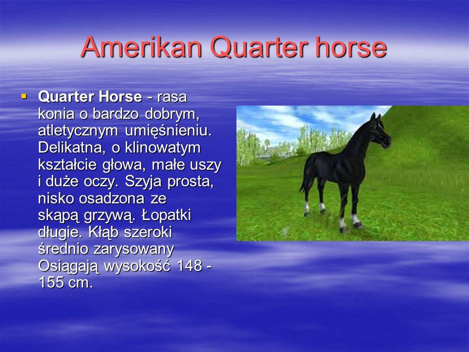 Amerikan Quarter horse  Quarter Horse - rasa konia o bardzo dobrym, atletycznym umięśnieniu.