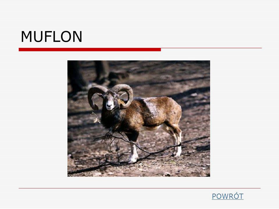 MUFLON POWRÓT