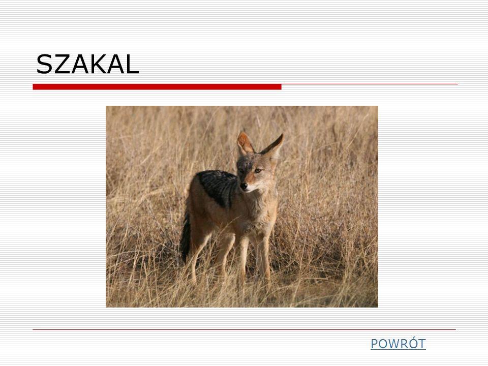 SZAKAL POWRÓT
