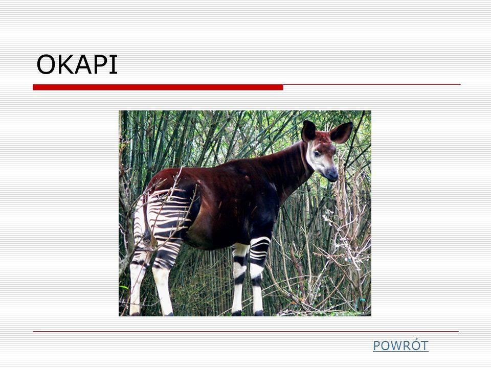 OKAPI POWRÓT