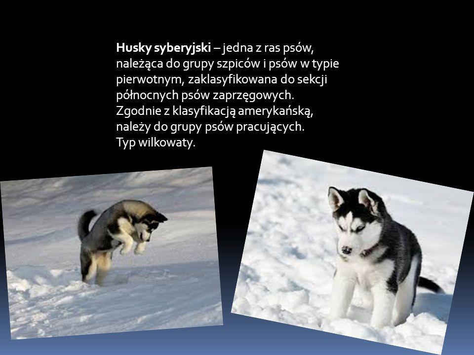 Husky syberyjski – jedna z ras psów, należąca do grupy szpiców i psów w typie pierwotnym, zaklasyfikowana do sekcji północnych psów zaprzęgowych.