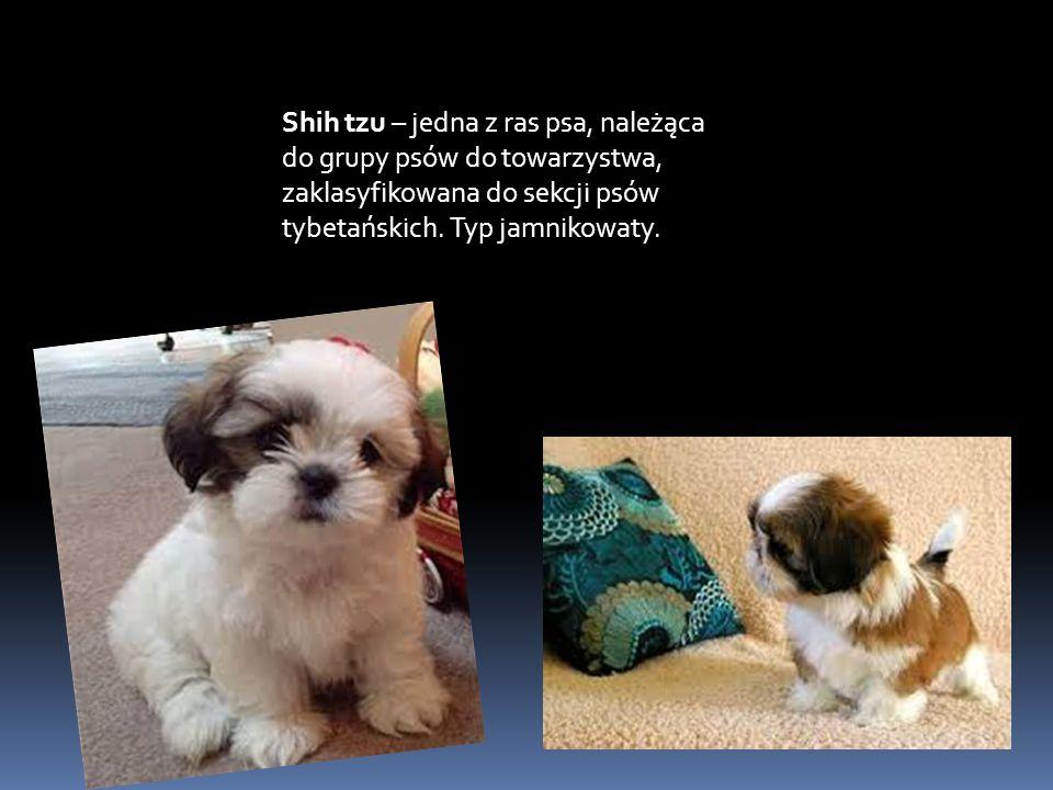 Shih tzu – jedna z ras psa, należąca do grupy psów do towarzystwa, zaklasyfikowana do sekcji psów tybetańskich.