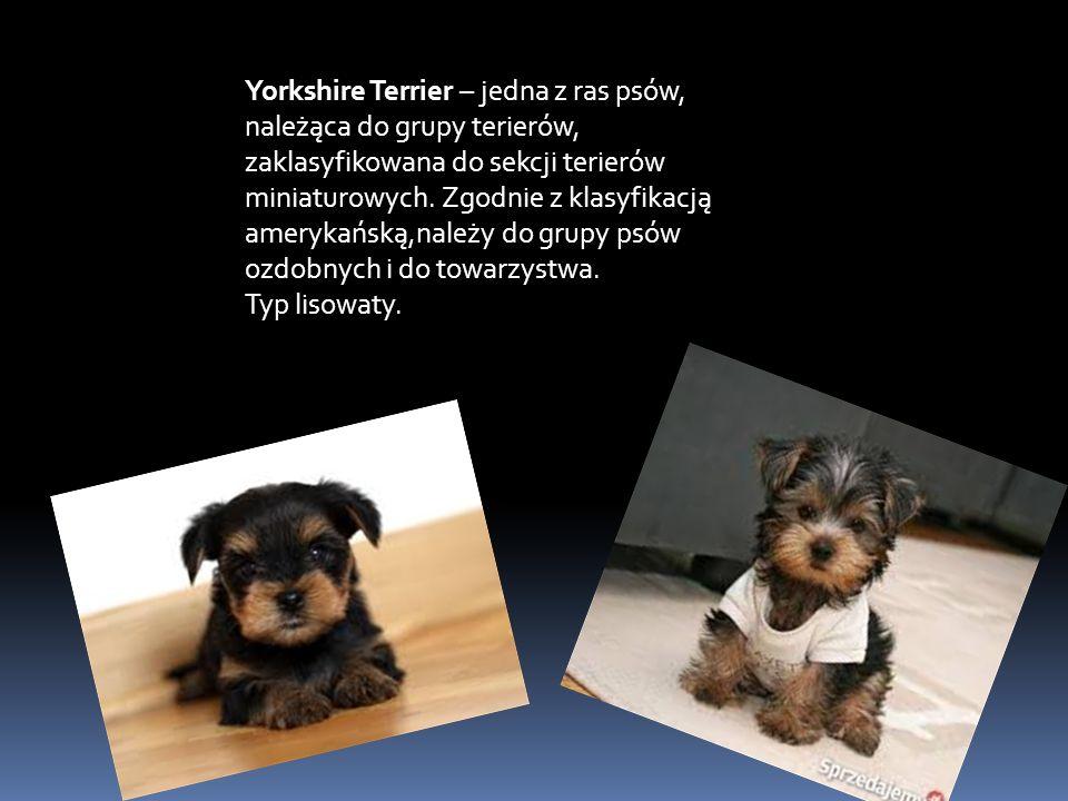 Yorkshire Terrier – jedna z ras psów, należąca do grupy terierów, zaklasyfikowana do sekcji terierów miniaturowych.