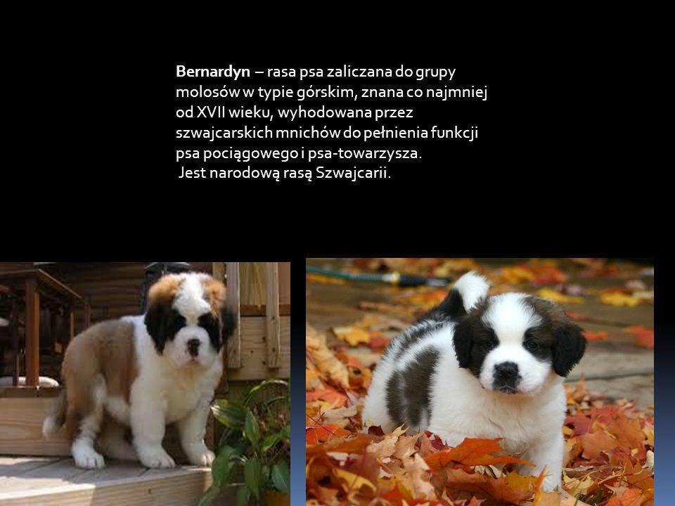 Bernardyn – rasa psa zaliczana do grupy molosów w typie górskim, znana co najmniej od XVII wieku, wyhodowana przez szwajcarskich mnichów do pełnienia funkcji psa pociągowego i psa-towarzysza.