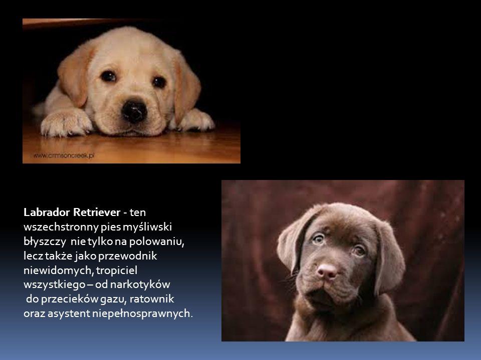 Labrador Retriever - ten wszechstronny pies myśliwski błyszczy nie tylko na polowaniu, lecz także jako przewodnik niewidomych, tropiciel wszystkiego – od narkotyków do przecieków gazu, ratownik oraz asystent niepełnosprawnych.
