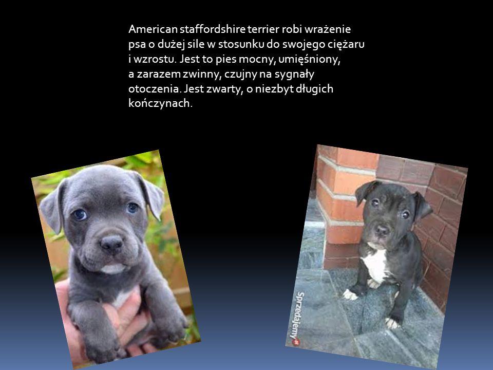 American staffordshire terrier robi wrażenie psa o dużej sile w stosunku do swojego ciężaru i wzrostu.