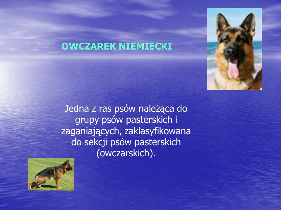 OWCZAREK NIEMIECKI Jedna z ras psów należąca do grupy psów pasterskich i zaganiających, zaklasyfikowana do sekcji psów pasterskich (owczarskich).