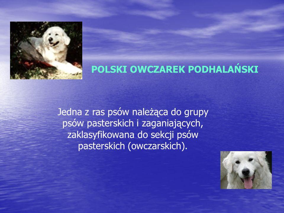 POLSKI OWCZAREK PODHALAŃSKI Jedna z ras psów należąca do grupy psów pasterskich i zaganiających, zaklasyfikowana do sekcji psów pasterskich (owczarskich).