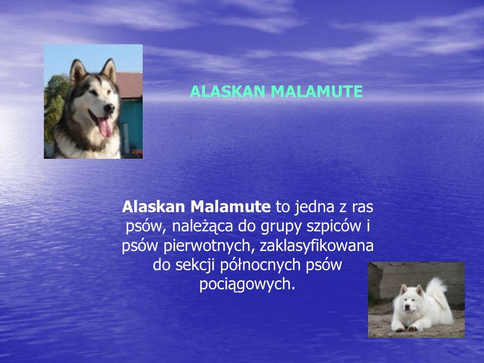 ALASKAN MALAMUTE Alaskan Malamute to jedna z ras psów, należąca do grupy szpiców i psów pierwotnych, zaklasyfikowana do sekcji północnych psów pociągowych.