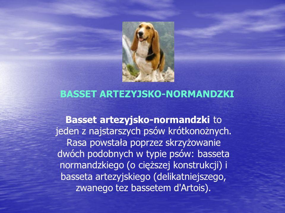BASSET ARTEZYJSKO-NORMANDZKI Basset artezyjsko-normandzki to jeden z najstarszych psów krótkonożnych.