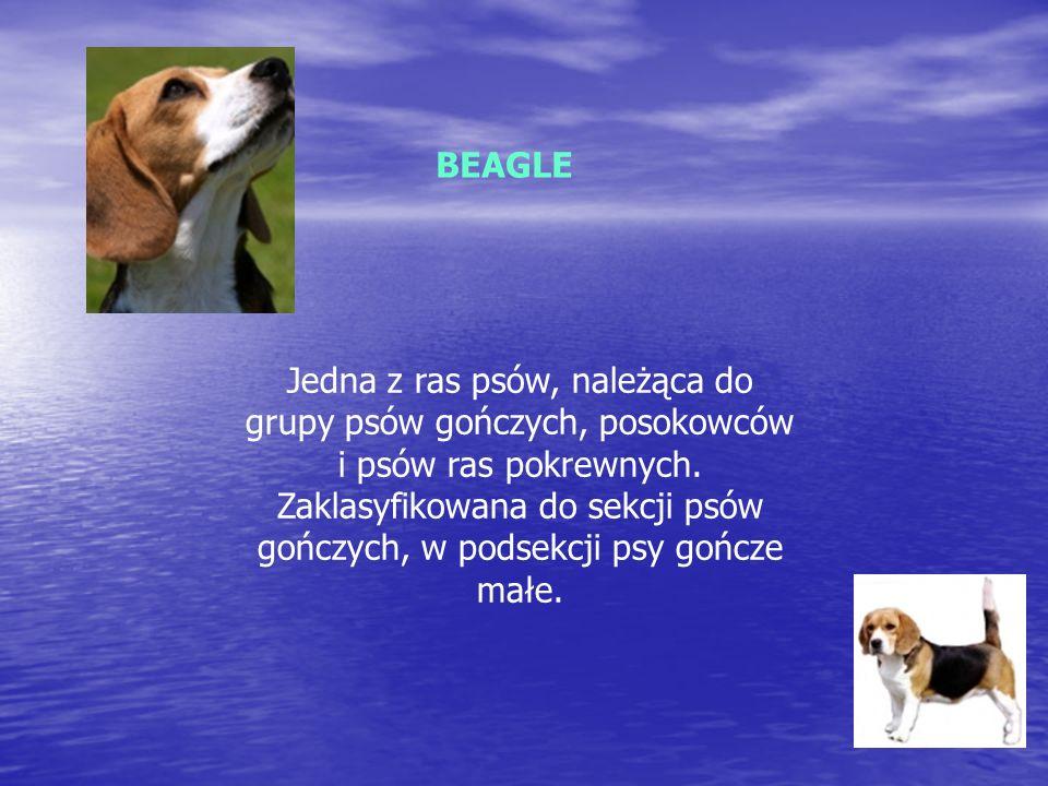 BEAGLE Jedna z ras psów, należąca do grupy psów gończych, posokowców i psów ras pokrewnych.
