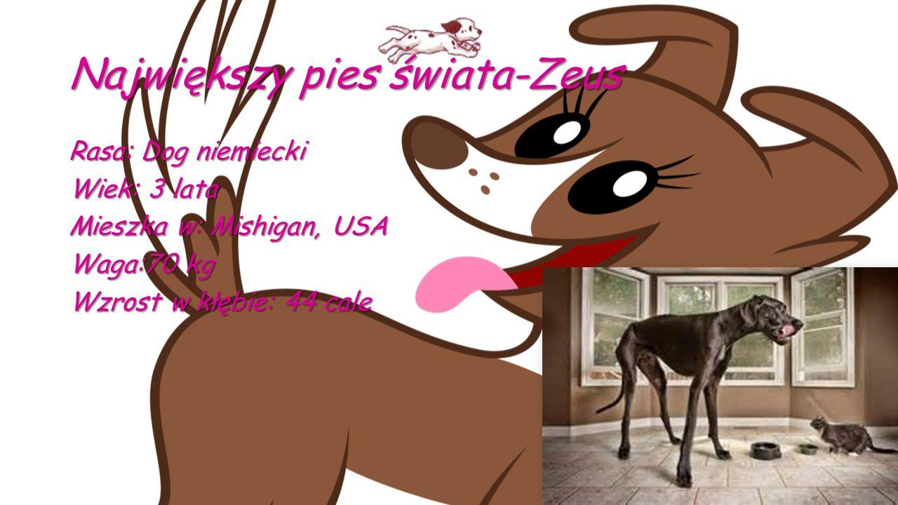 Największy pies świata-Zeus Rasa: Dog niemiecki Wiek: 3 lata Mieszka w: Mishigan, USA Waga:70 kg Wzrost w kłębie: 44 cale