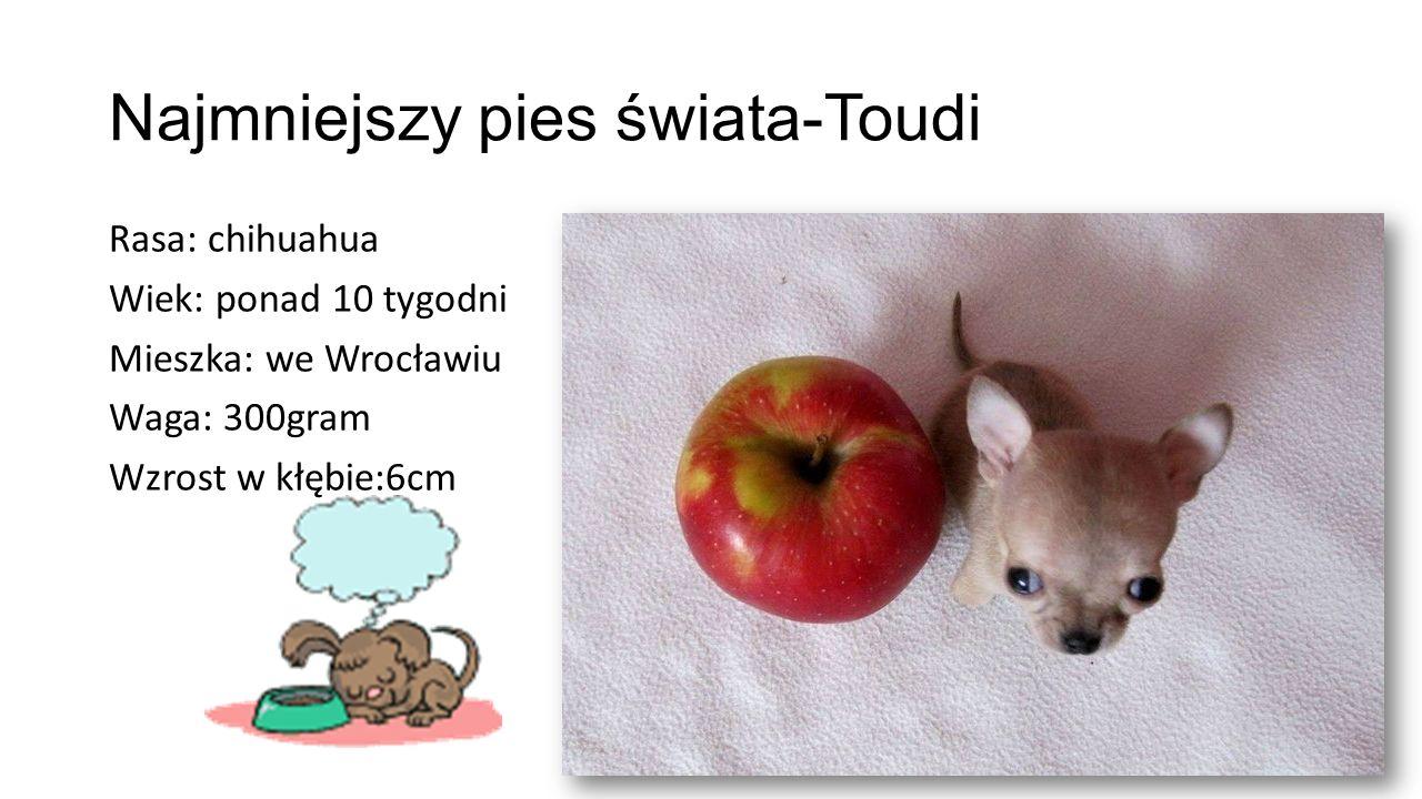 Najmniejszy pies świata-Toudi Rasa: chihuahua Wiek: ponad 10 tygodni Mieszka: we Wrocławiu Waga: 300gram Wzrost w kłębie:6cm