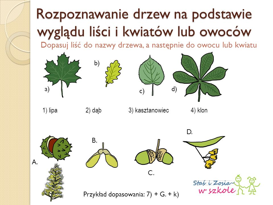 Rozpoznawanie drzew na podstawie wyglądu liści i kwiatów lub owoców Dopasuj liść do nazwy drzewa, a następnie do owocu lub kwiatu 1) lipa2) dąb3) kasztanowiec4) klon a) b) c) d) A.