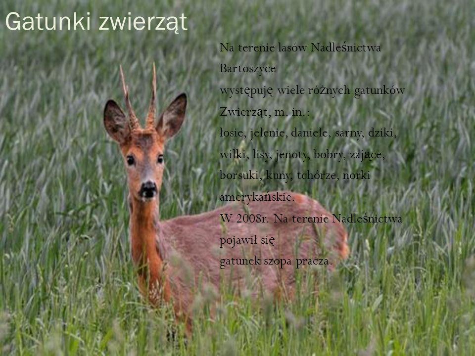 Gatunki zwierząt Na terenie lasów Nadle ś nictwa Bartoszyce wyst ę puj ę wiele ró ż nych gatunków Zwierz ą t, m. in.: łosie, jelenie, daniele, sarny,