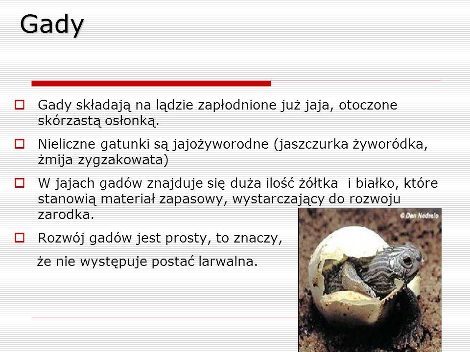 Gady  Gady składają na lądzie zapłodnione już jaja, otoczone skórzastą osłonką.  Nieliczne gatunki są jajożyworodne (jaszczurka żyworódka, żmija zyg