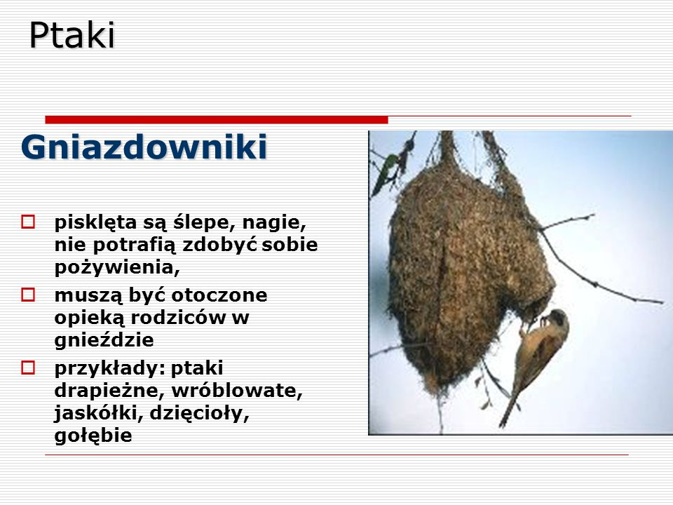 PtakiGniazdowniki  pisklęta są ślepe, nagie, nie potrafią zdobyć sobie pożywienia,  muszą być otoczone opieką rodziców w gnieździe  przykłady: ptak