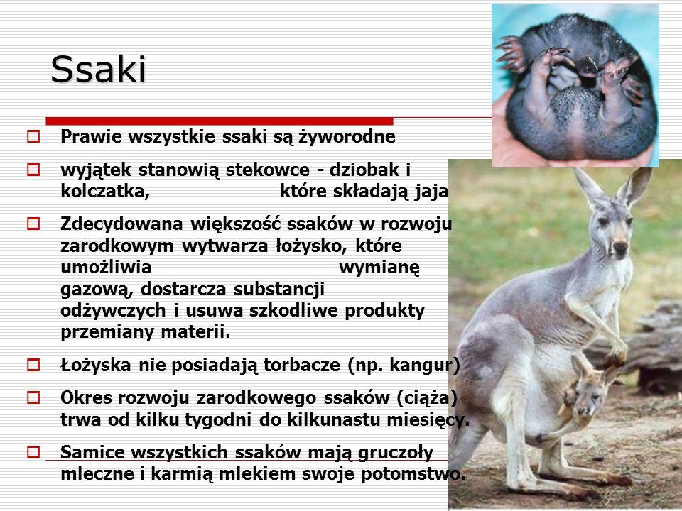 Ssaki  Prawie wszystkie ssaki są żyworodne  wyjątek stanowią stekowce - dziobak i kolczatka, które składają jaja  Zdecydowana większość ssaków w ro