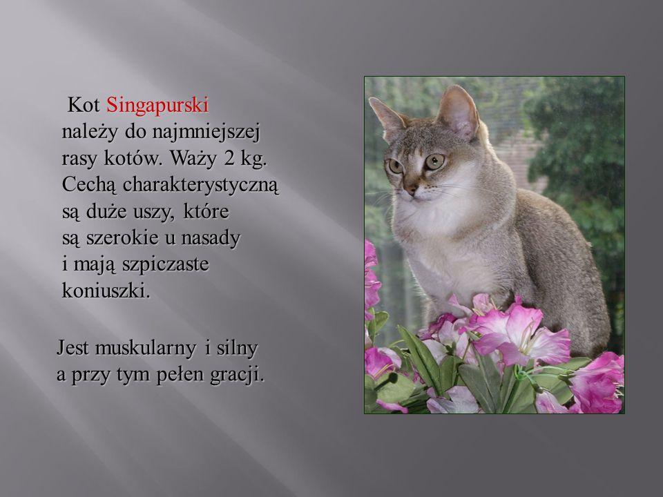 Kot Singapurski należy do najmniejszej rasy kotów. Waży 2 kg. Cechą charakterystyczną są duże uszy, które są szerokie u nasady i mają szpiczaste koniu