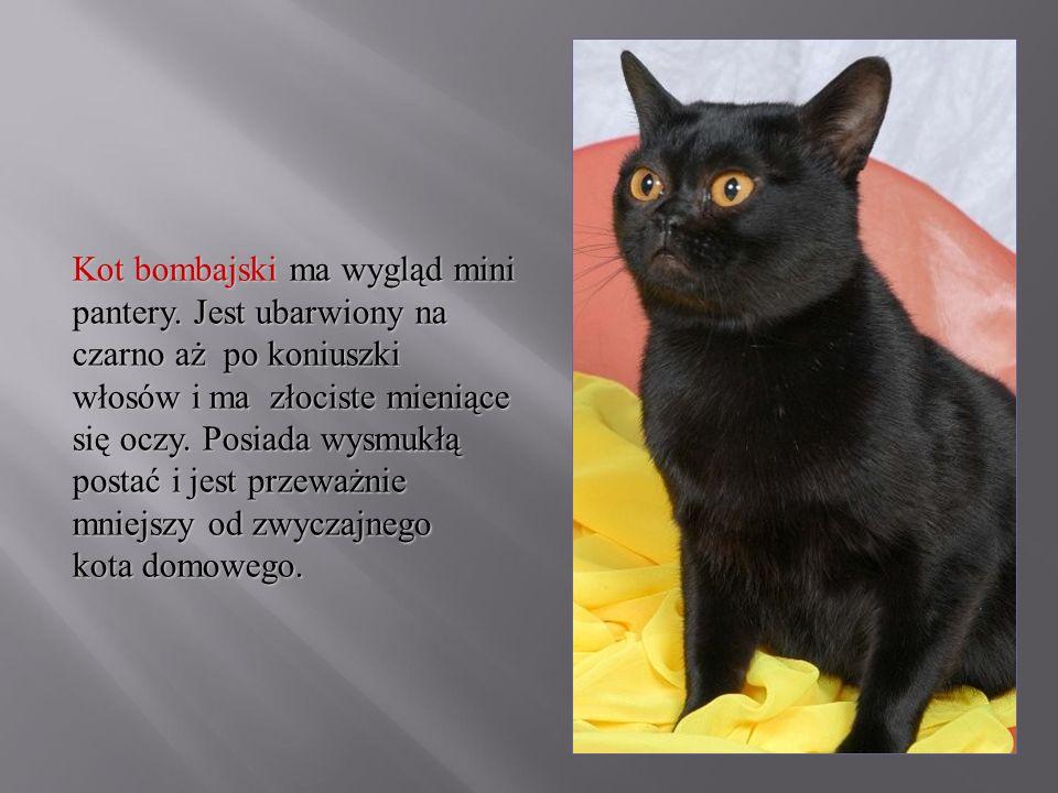 Kot bombajski ma wygląd mini pantery. Jest ubarwiony na czarno aż po koniuszki włosów i ma złociste mieniące się oczy. Posiada wysmukłą postać i jest