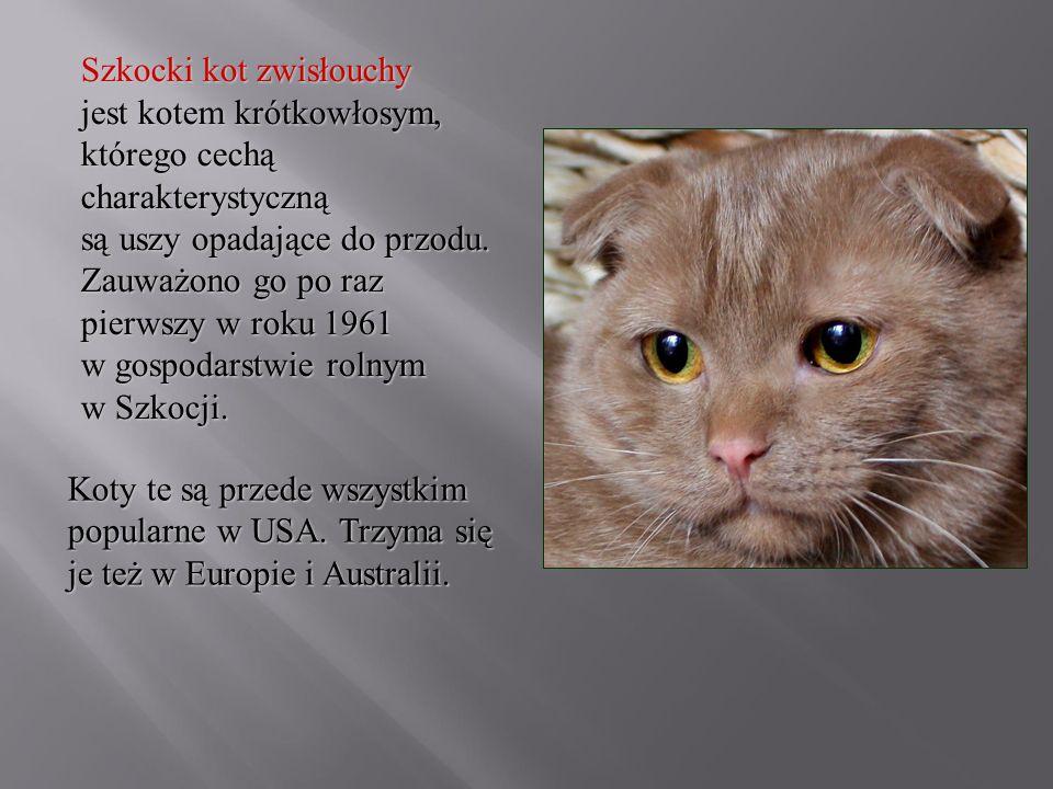 Szkocki kot zwisłouchy jest kotem krótkowłosym, którego cechą charakterystyczną są uszy opadające do przodu. Zauważono go po raz pierwszy w roku 1961