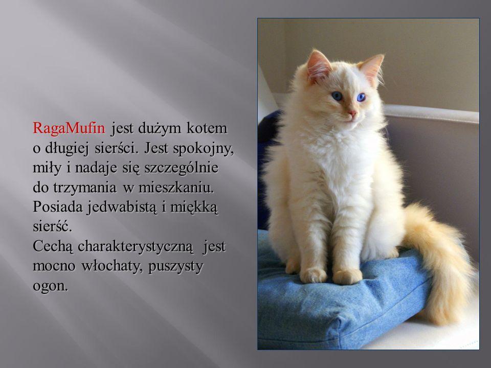 RagaMufin jest dużym kotem o długiej sierści. Jest spokojny, miły i nadaje się szczególnie do trzymania w mieszkaniu. Posiada jedwabistą i miękką sier
