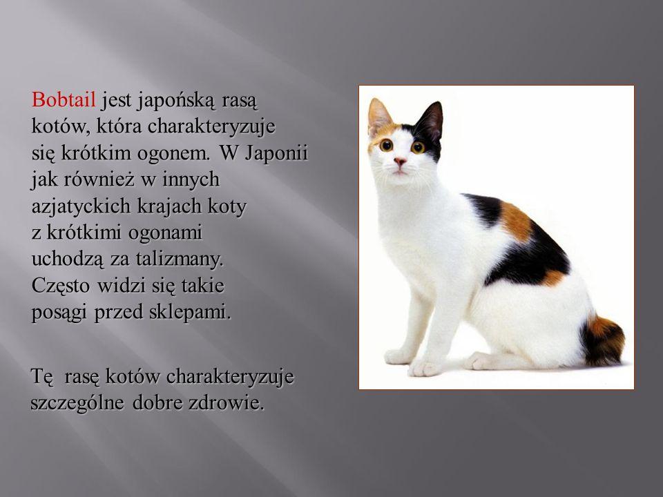Bobtail jest japońską rasą kotów, która charakteryzuje się krótkim ogonem. W Japonii jak również w innych azjatyckich krajach koty z krótkimi ogonami