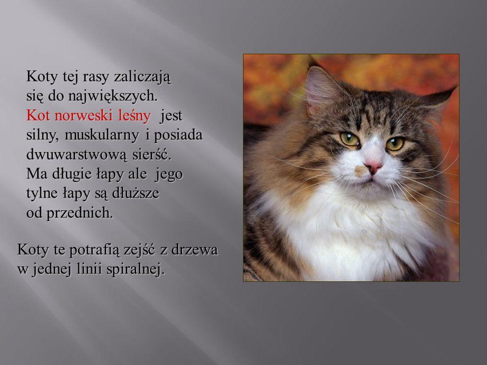 Koty tej rasy zaliczają się do największych. Kot norweski leśny jest silny, muskularny i posiada dwuwarstwową sierść. Ma długie łapy ale jego tylne ła