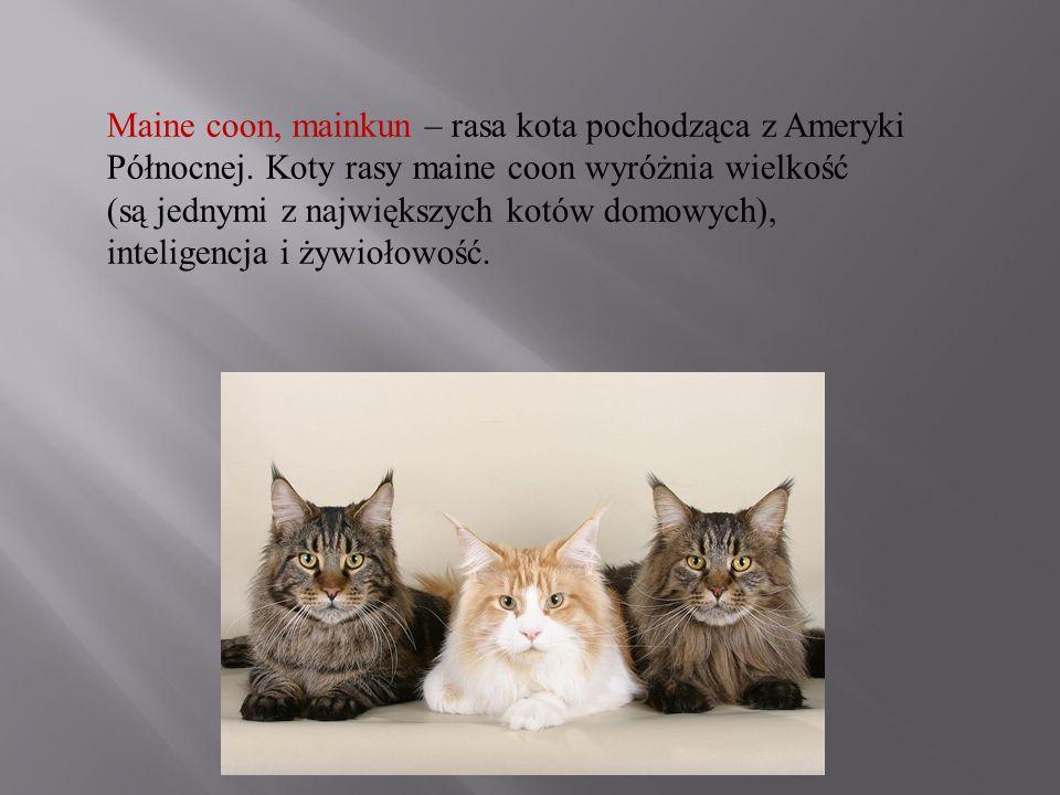 Maine coon, mainkun – rasa kota pochodząca z Ameryki Północnej. Koty rasy maine coon wyróżnia wielkość (są jednymi z największych kotów domowych), int