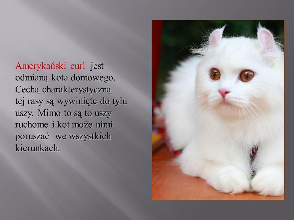 Amerykański curl jest odmianą kota domowego. Cechą charakterystyczną tej rasy są wywinięte do tyłu uszy. Mimo to są to uszy ruchome i kot może nimi po