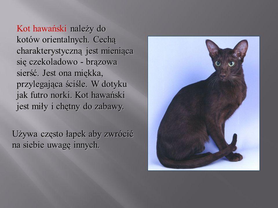 Kot hawański należy do kotów orientalnych. Cechą charakterystyczną jest mieniąca się czekoladowo - brązowa sierść. Jest ona miękka, przylegająca ściśl