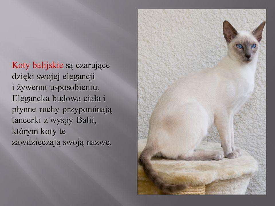 Koty balijskie są czarujące dzięki swojej elegancji i żywemu usposobieniu. Elegancka budowa ciała i płynne ruchy przypominają tancerki z wyspy Balii,
