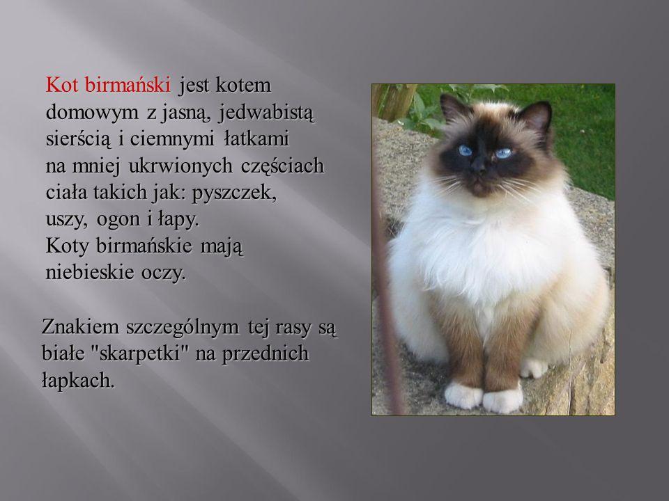 Kot birmański jest kotem domowym z jasną, jedwabistą sierścią i ciemnymi łatkami na mniej ukrwionych częściach ciała takich jak: pyszczek, uszy, ogon