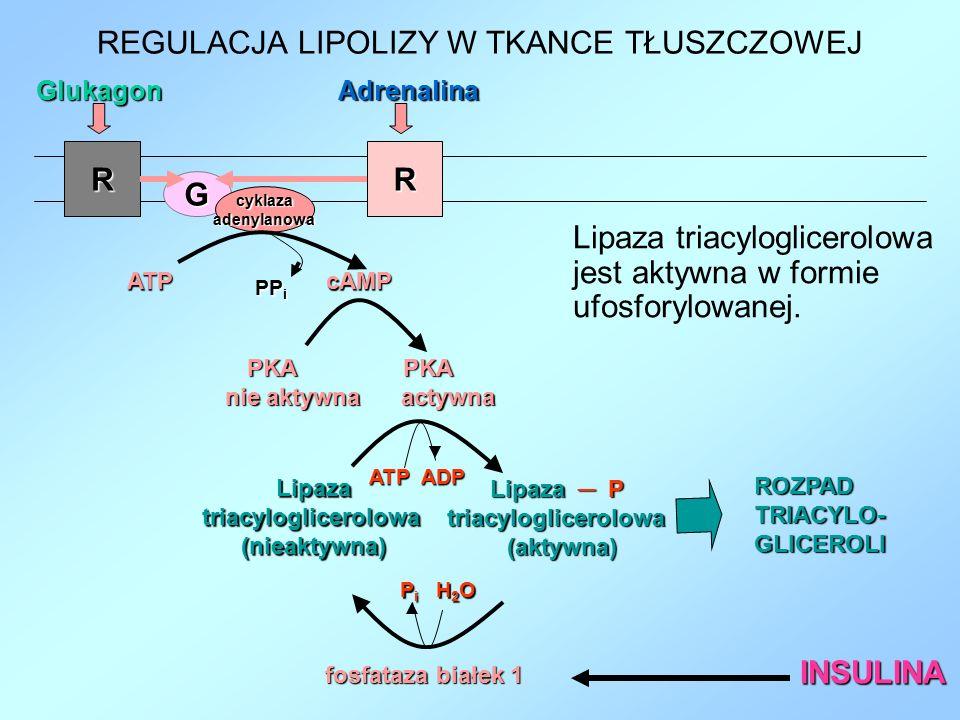 RR GlukagonAdrenalina G cyklazaadenylanowa ATP cAMP PKA PKA PKA PKA nie aktywna actywna Lipazatriacyloglicerolowa (nieaktywna) Lipaza ─ P Lipaza ─ P t