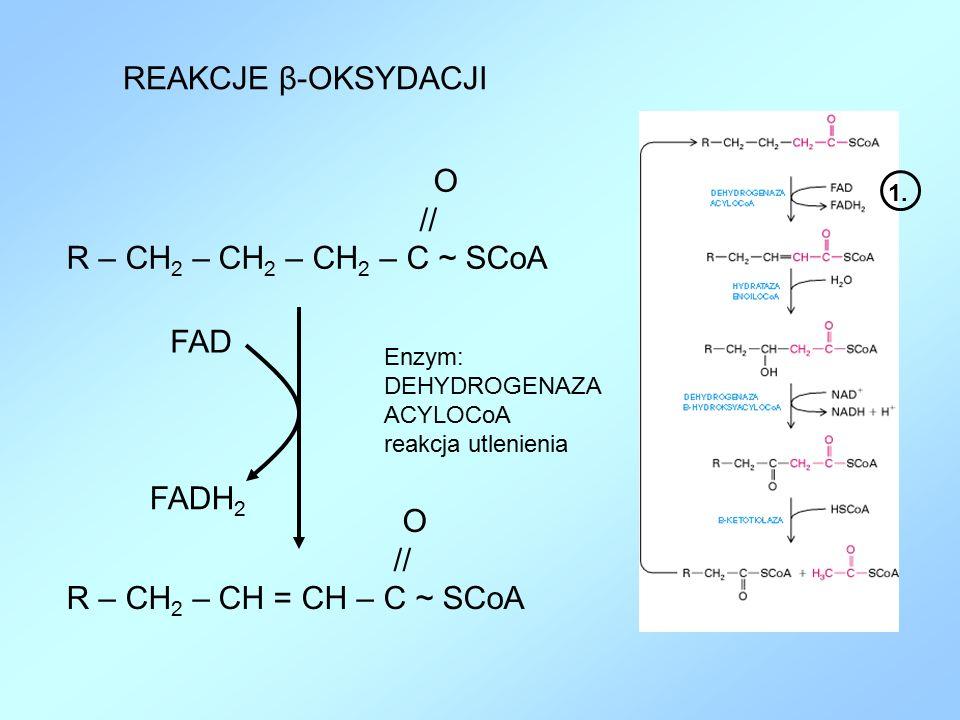 REAKCJE β-OKSYDACJI O // R – CH 2 – CH 2 – CH 2 – C ~ SCoA O // R – CH 2 – CH = CH – C ~ SCoA FAD FADH 2 Enzym: DEHYDROGENAZA ACYLOCoA reakcja utlenie