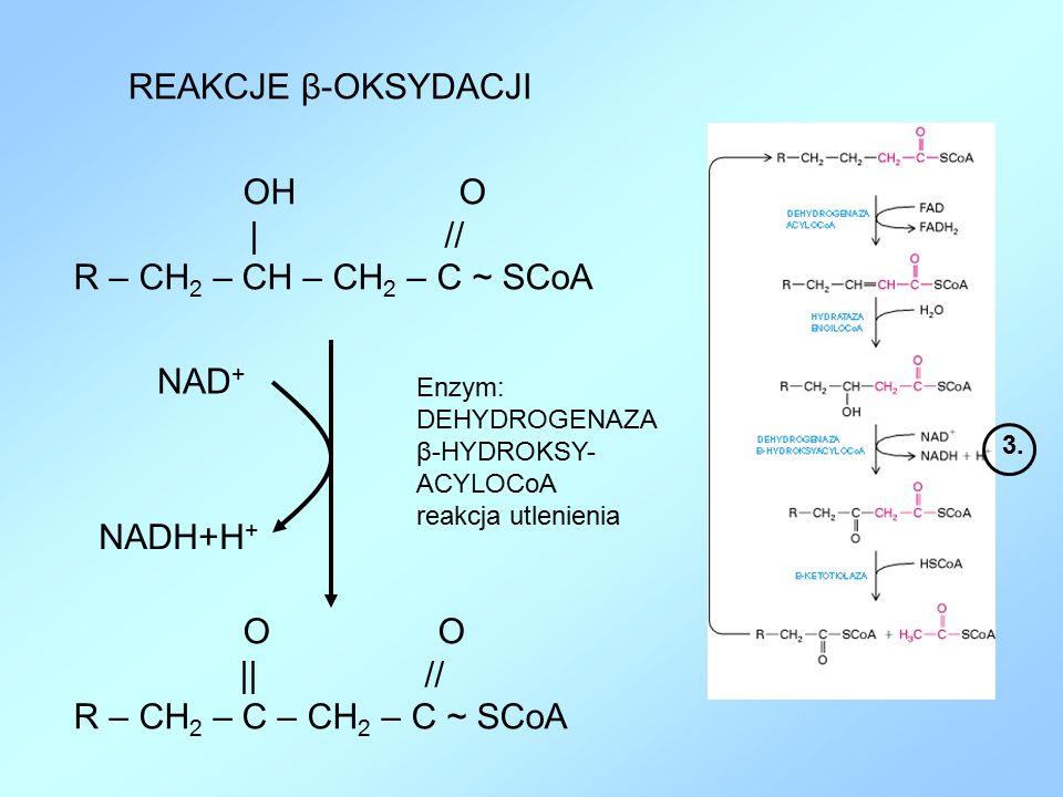 REAKCJE β-OKSYDACJI Enzym: DEHYDROGENAZA β-HYDROKSY- ACYLOCoA reakcja utlenienia OH O | // R – CH 2 – CH – CH 2 – C ~ SCoA 3. O || // R – CH 2 – C – C