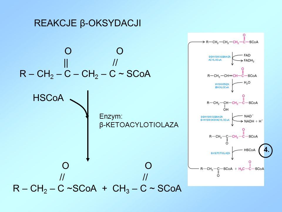 REAKCJE β-OKSYDACJI Enzym: β-KETOACYLOTIOLAZA 4. O || // R – CH 2 – C – CH 2 – C ~ SCoA O // // R – CH 2 – C ~SCoA + CH 3 – C ~ SCoA HSCoA